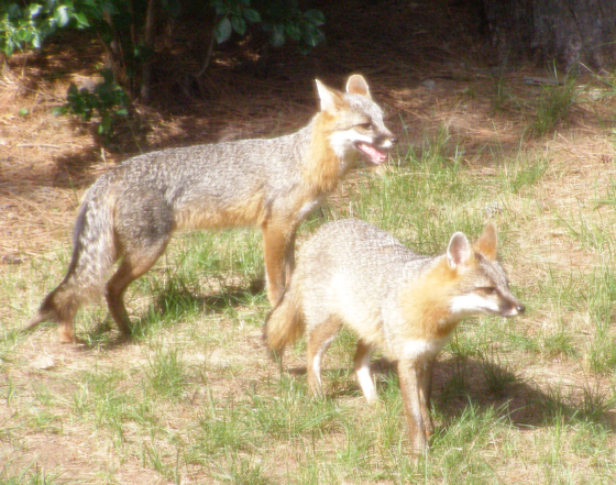 Adult Male Female Grey Fox