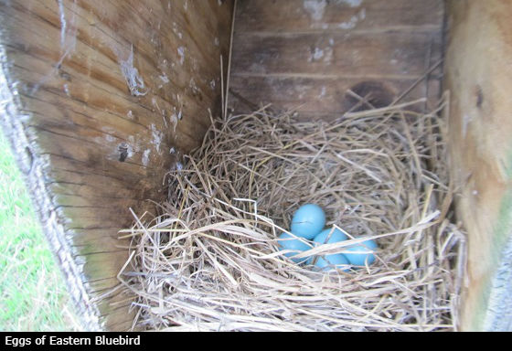 eggs eastern bluebird